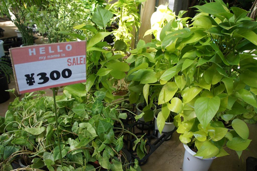 糸島で大人気!坂田園芸の観葉植物セール!今秋ももちろんあります!